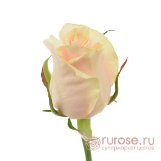 Роза Talea