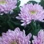 Resomee Dark | Хризантема одноголовая фиолетовая