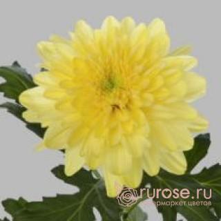 Zembla Yellow | Хризантема одноголовая желтая
