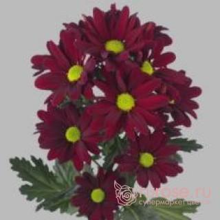 Кустовая хризантема Amarone