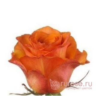 Роза Wildcard (Вайлдкард)