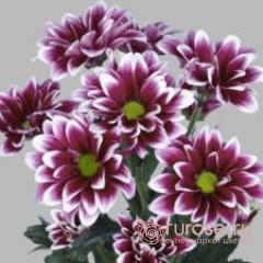 Кустовая хризантема Airko