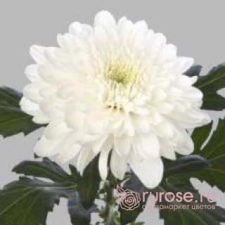 Zembla | Хризантема одноголовая белая