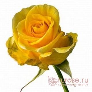 Роза Ilios