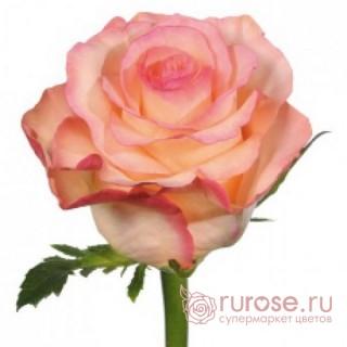 Роза Petticoat (Петтикет)