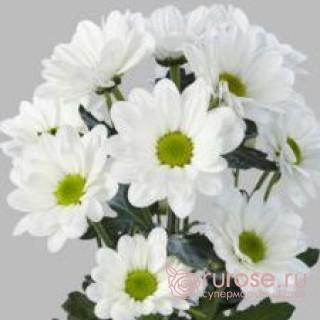 Кустовая хризантема Bakkardi