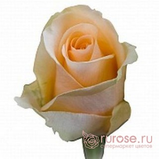 Роза Pich Avalanche (Пич Аваланж)
