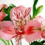 Альстромерия розовая Pink