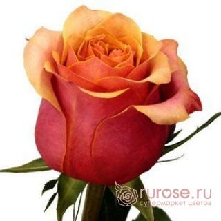 Роза Cherry Brandy
