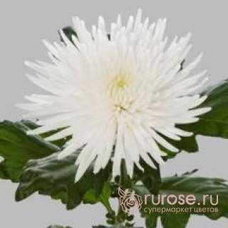 Anastasiya | Хризантема одноголовая белая