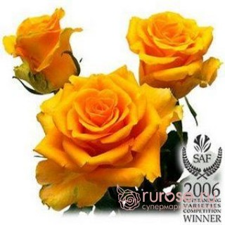 Роза Riverdale (Ривердейл)
