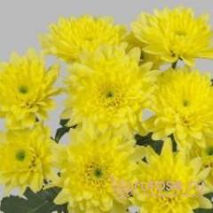 Кустовая хризантема Evro yellow