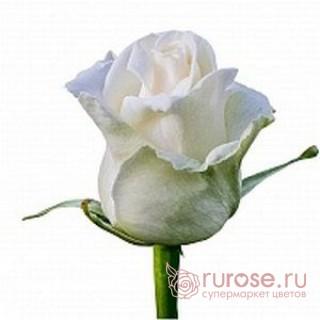 Роза Dolomity (Доломити)