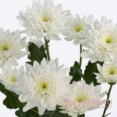Кустовая хризантема Arctic Queen