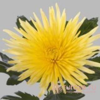 Anastasiya Yellow | Хризантема одноголовая желтая
