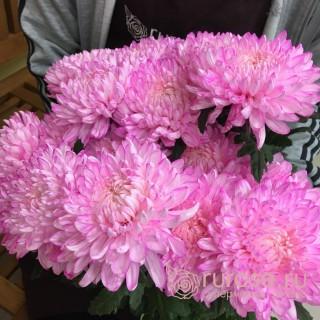 Deka розовая | Хризантема одноголовая розовая
