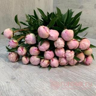 Пион нежно-розовый. Сорт Сара Бернар