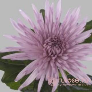 Anastasiya Pink | Хризантема одноголовая розовая