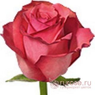 Роза Challenger (Челленджер)