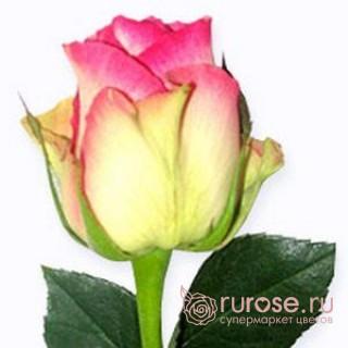 Роза Malibu (Малибу)