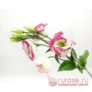 Эустома розовая